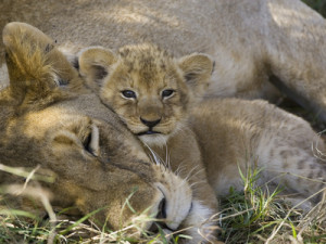 eszterhas-minden-pictures-suzi-african-lion-panthera-leo-mother-resting-with-cub-vulnerable-masai-mara-nat-l-reserve-kenya